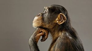chimpanzee-wallpaper-funny